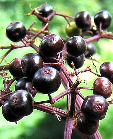 Common Elderberry